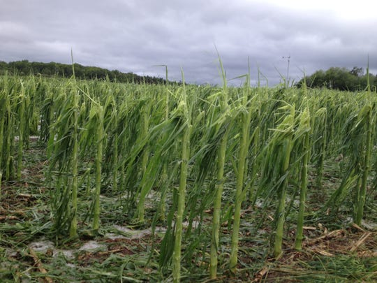 Growing corn shorn from its stalks along Walker Road in the town of Sevastopol after a localized hailstorm ravaged crops Monday night.