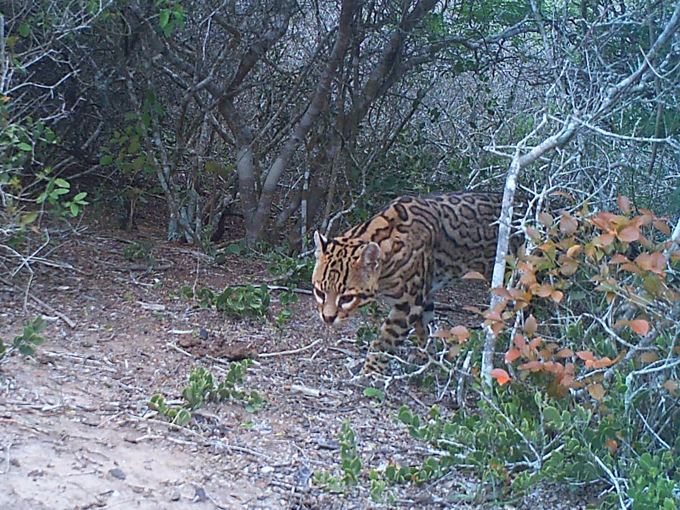 A male ocelot male at Laguna Atascosa National Wildlife Refuge in January 2014.