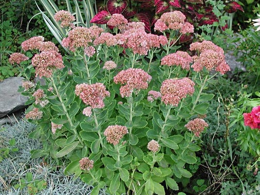 Gardening-Autumn Joy Sedum