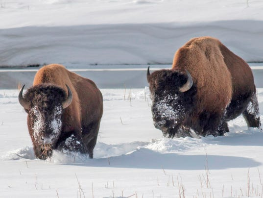 AP YELLOWSTONE SUPERINTENDENT BISON A FILE USA MT