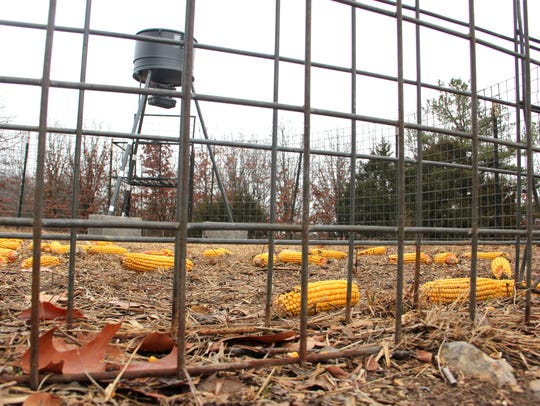 File photo shows a feral hog trap, baited with dry