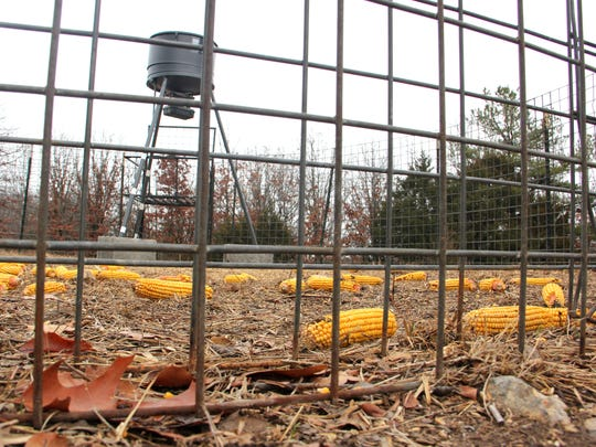 File photo shows a feral hog trap, baited with dry corn, ready to capture a herd of  hogs  in the Mark Twain National Forest in Barry County.