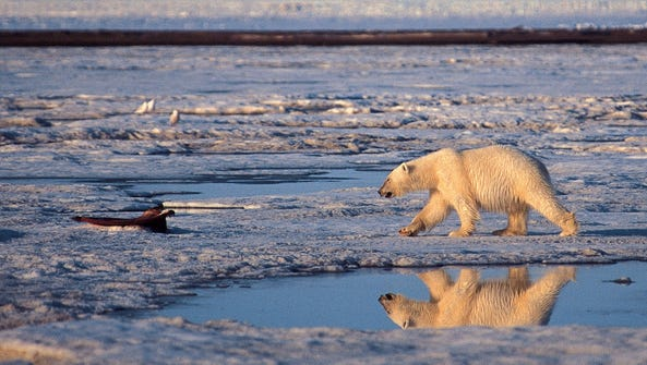 In this undated file photo, a polar bear is shown in
