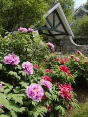 The 425 Japanese tree peonies at the Rockefeller State Park Preserve in Mount Pleasant are peaking right about now, in this photograph shot May 15, 2015. They were a gift from the Japanese people after 9/11.