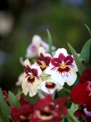 The WNC Orchid Society presents its annual Orchid Show April 15-17 at the N.C. Arboretum with orchids on display and for sale from around the world.