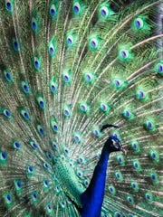Picasso the peacock displays his long train of emerald and cobalt quill feathers at the Wonder Gardens in downtown Bonita Springs on Tuesday, May 23, 2017. A new peahen was recently brought on as a potential new mate for Picasso.
