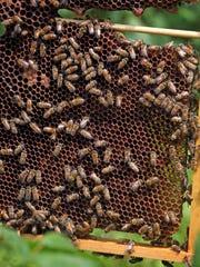 Honeybees at the Greenburgh Nature Center.