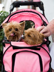 """Muffy, left, and Gidget, two Yorkies prior to the """"Blessing of the Pets"""" service at St. PaulÕs Episcopal Church Saturday, Nov. 25, 2017 in Naples."""
