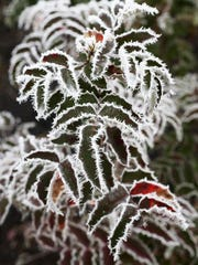 When temperatures drop in the Mid-Valley, frost forms on area foliage.