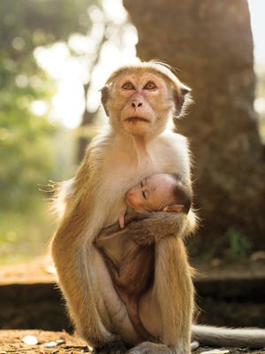 A toque macaque and her infant find joy and peril in the jungles of Sri Lanka.