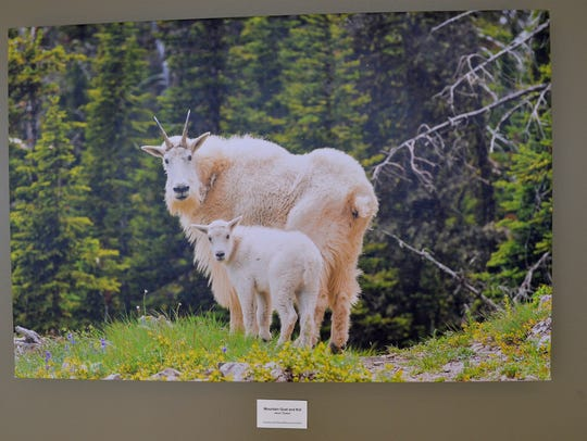 """A photograph of mountain goats by Aaron Theisen is one of dozens of photographs featuring Montana outdoor scenes and wildlife beginning to populate the walls at Benefis Health System. """"We're just trying o make Benefis a Little more homey and a little less sterile when you get right down to it,"""" CEO John Goodnow says."""