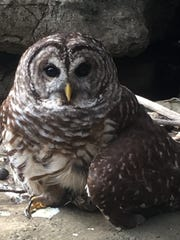 A barred owl sits near where it was rescued from fishing