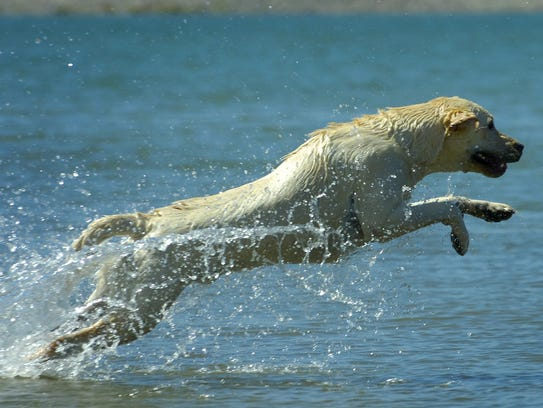 Norm, a yellow lab, jumps into the water at the Sparks