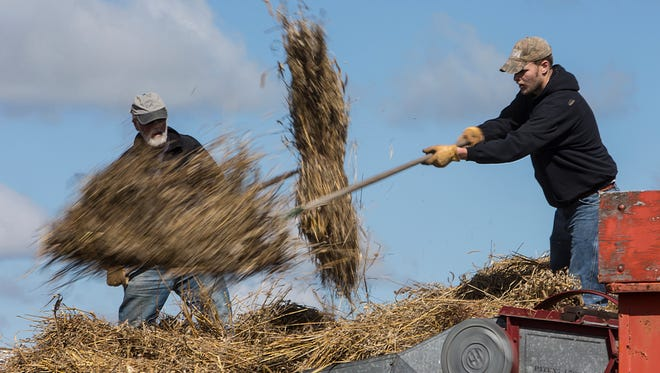 Volunteers pitches the grain feeding the thresher at a Neighborhood Thresheree Saturday, September 13, 2014, in Fisk, Wisconsin, on the Oliver family homestead. Pictured are Michael Cooney, left, and Kevin Potratz.