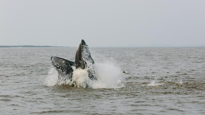 "A humpback whale was spotted feeding Sunday afternoon on the ocean side of Sandy Hook. Scientists call this behavior ""lunge feeding."""