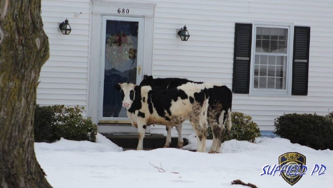 The Suffield, Connecticut Police Department provided this photo of the escaped cows standing on a doorstep.
