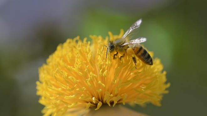 Bees are an important pollinators of flowering plants.