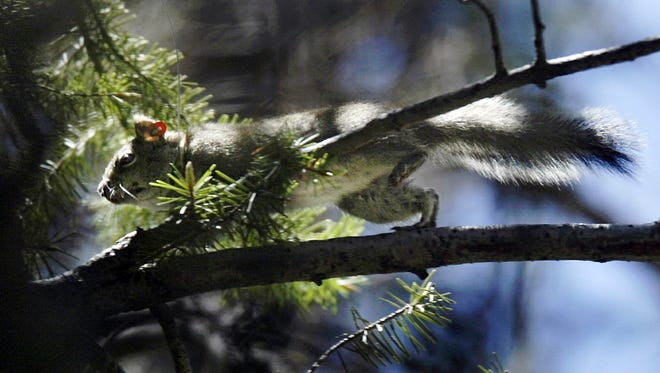 In this May 24, 2004 file photo, a Mount Graham red squirrel darts through trees on Mount Graham near Safford. State officials say the endangered squirrel species' estimated population has apparently plummeted since a major wildfire burned much of its habitat atop a southeastern Arizona mountain last summer.