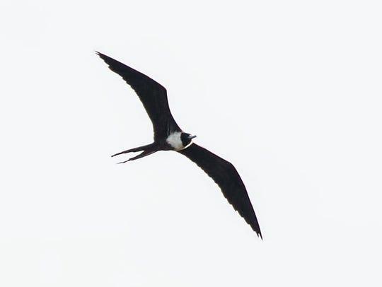 Melanie Coulthurst photographed a magnificent frigatebird