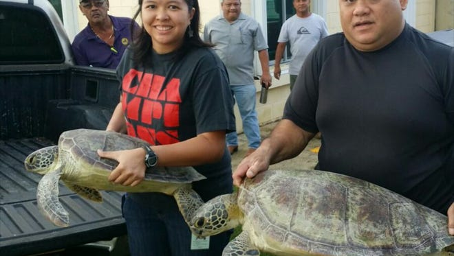 CJ Cayanan, Department of Agriculture fisheries biologist, left, and Lt. Mark Aguon, Department of Agriculture law enforcement supervisor, prepare the sea turtles for transport to UnderWater World for observation and rehabilitation.