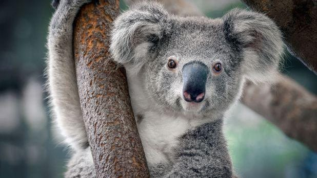 Although koala is referenced to be a cuddly bear it's actually not a bear. It's a pouched mammal. They are only found in Queensland, NSW, Victoria and South Australia.