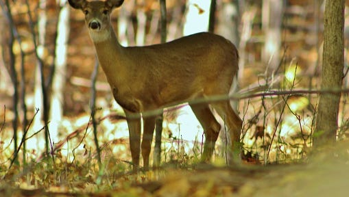 White-tailed deer posing in autumn