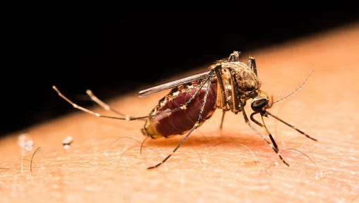 Mosquitoes are believed to be the main carrier of the Zika virus.
