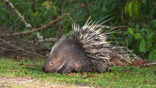 Stock image of a porcupine on the grass.