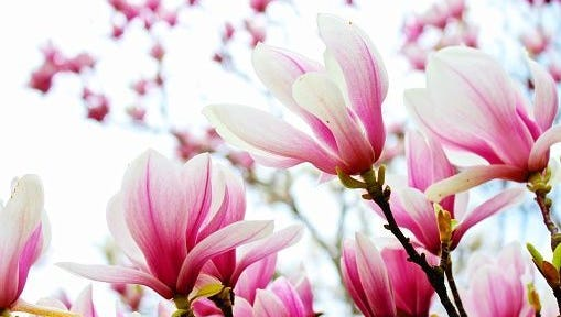 Magnolias are in profuse bloom across the state.