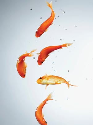 Kimpton Hotel goldfish are going away. Not to a bad part. Just not to hotel guests.
