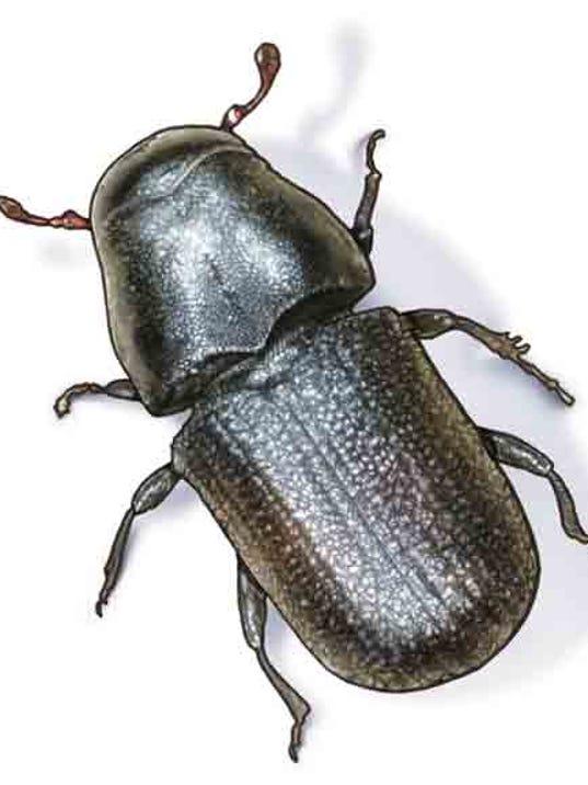 636522183314443127-Mountain-pine-beetle.jpg