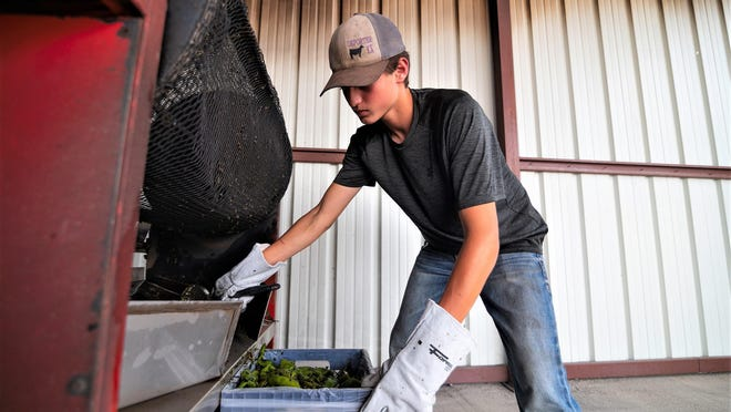 Dominic Mauro bags up a freshly roasted bushel of Pueblo Chile at Vic Mauro Produce on the St. Charles Mesa.