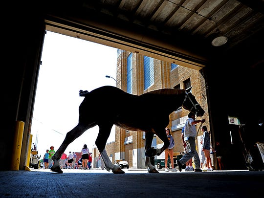 A Belgian draft horse is led to the show arena at the Indiana State Fair,.