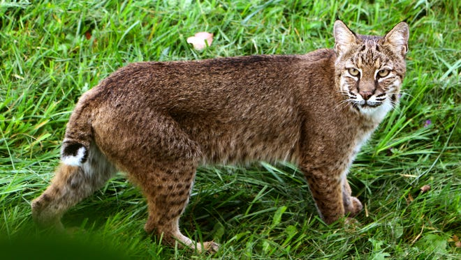 Katrina Allen and her family watched this bobcat hunt in their backyard in Jericho, eventually coming up with a vole and stalking into the woods in October, 2016.