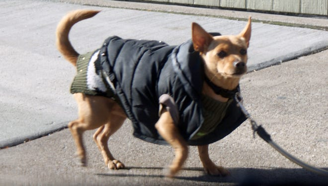 A dog dressed in layers is seen walking the streets of Port Clinton.