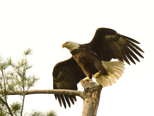 A pair of eagles were photographed at their nest site