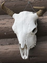 A bison skull hangs on a former buffalo ranch.