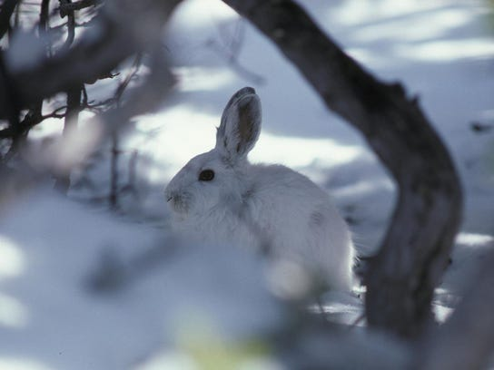 Snowshoe hares a popular item with many predators,