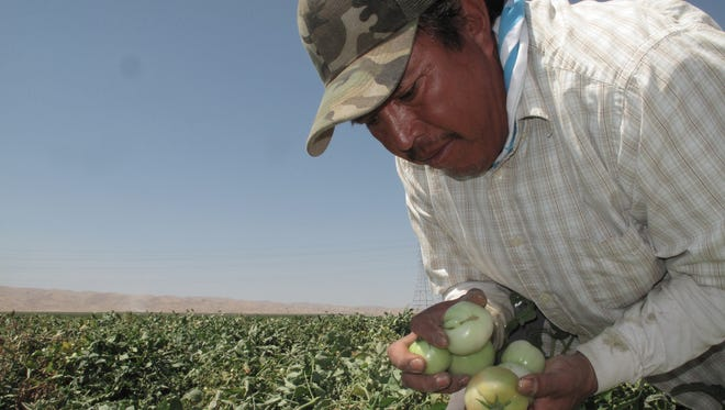 Farmworker Florentino Reyes picks tomatoes Tuesday, Aug. 30, 2016, at a field near Mendota, Calif. Farmworkers such as Florentino would be eligible for overtime pay after working eight hours a day or 40 hours a week under a bill headed to the desk of Gov. Jerry Brown. If it becomes law, it would put California at the forefront nationally of farm labor pay and mark a victory in the fight to improve farmworkers' rights in a decade's old movement launched by Cesar Chavez.