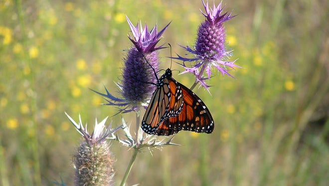 A monarch sits on an eryntium plant at Wagley Ranch. Millions of acres of native milkweed and wildflowers need to be restored across the butterfly's migration route.
