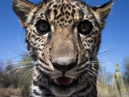 Tutu'uli, a 6-month old female jaguar is spotted at
