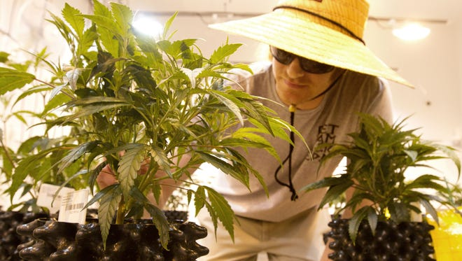 Horticulturalist Joe Bender inspects marijuana plants at Breakwater Treatment and Wellness in Cranbury, a dispensary which opened in October 2015.