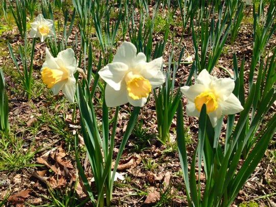 Daffodilis.