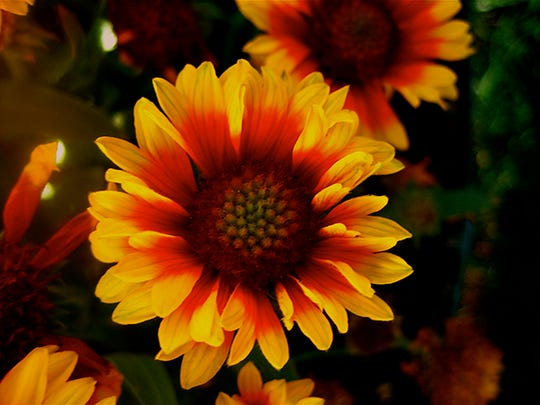 Gaillardia flowers bloom heavily in heat and drought and are easy to care for during hot summers.