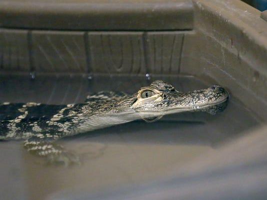 Alan the Alligator