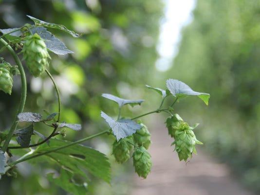 beer hops willamette valley