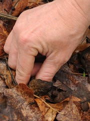 Jimmy Pendleton picks a morel mushroom he found Thursday at Scioto Trail State Park.