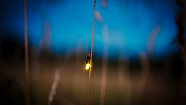 This is why you've probably never seen a firefly in Fort Collins