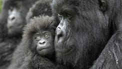A female gorilla and her 4-month-old baby in the Democratic