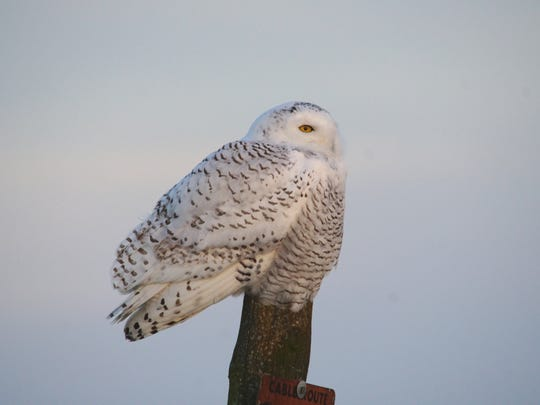 Snowy owls can have a wingspan of nearly 5 feet.